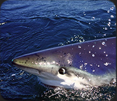 See and dive with California's profilic Blue Sharks.