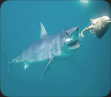 Get up close and personal with one of Claifornia's most powerful shark species, the Mako!