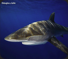 Encounter silky sharks up close and personal on a California Shark adventure.